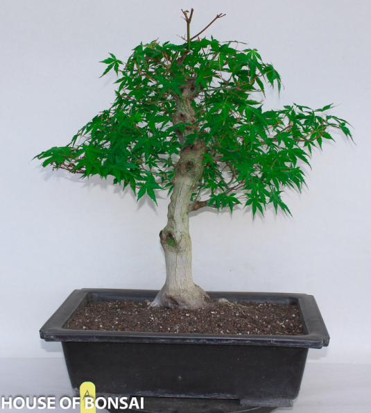 Japanese Green Katsura Maple Specimen Bonsai Tree