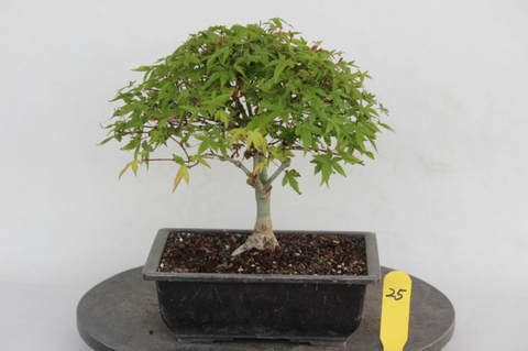 Japanese 'Kiyohime' Green Maple Bonsai Tree (Dormant)