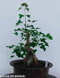 Trident Green Maple with Root Over Rock Specimen Bonsai Tree (Dormant)