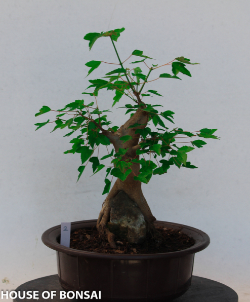 Trident Green Maple With Root Over Rock Specimen Bonsai