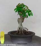 Trident Maple with Exposed Root Style Shohin Bonsai Tree