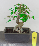 Trident Maple with Exposed Root Style Shohin Bonsai