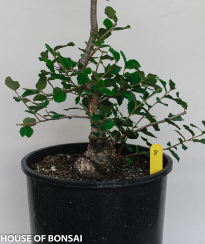 Cork Bark Oak Specimen Bonsai Tree