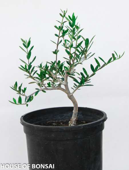 European Olive Pre-Bonsai Tree