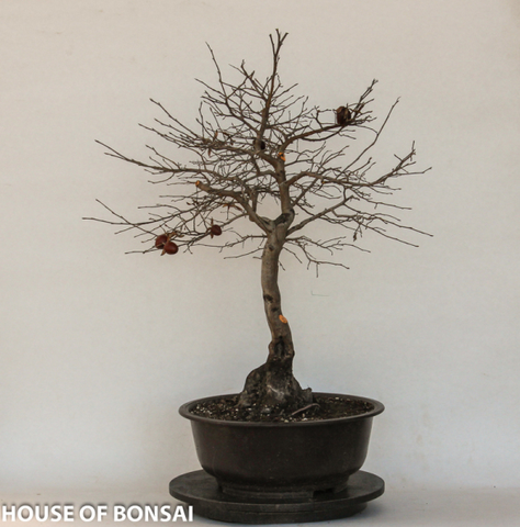 Japanese Princess Persimmon Specimen Bonsai Tree