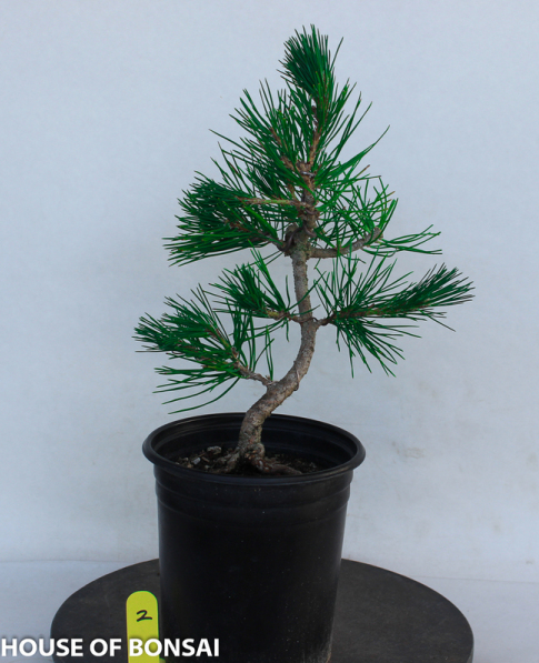 Japanese Mikawa Black Pine Pre Bonsai Tree House Of Bonsai