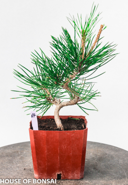 Japanese 'Mikawa' Black Pine Pre-Bonsai Shohin Tree