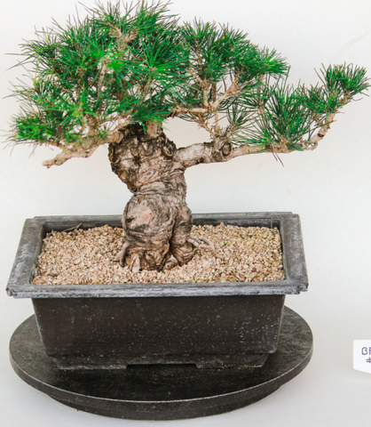 Japanese Black Pine Large Specimen Bonsai Tree