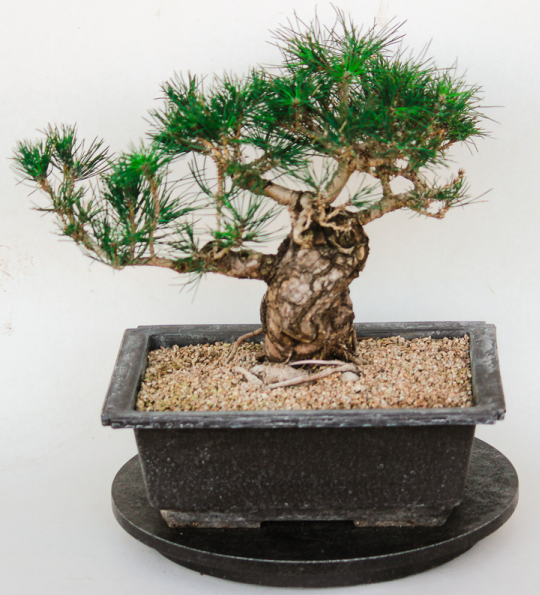 Japanese Black Pine Large Specimen Bonsai Tree House Of