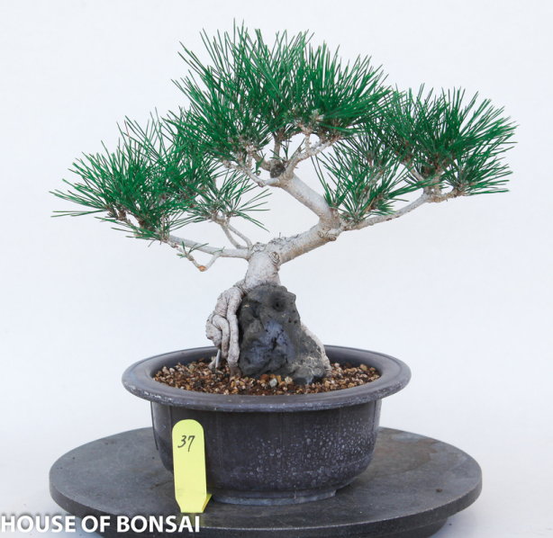 Japanese Black Pine Over Rock Specimen Bonsai Tree