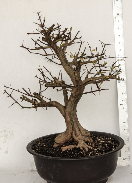 Japanese Twisted Pomegranate Specimen Bonsai Tree House