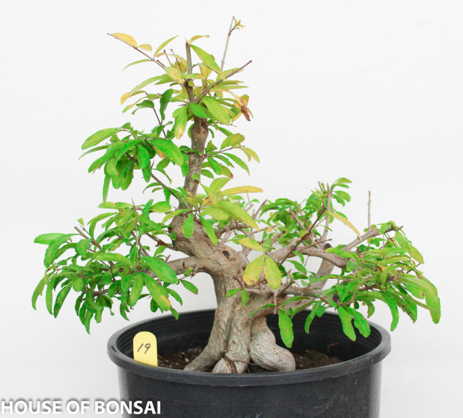 Japanese Twisted Pomegranate Specimen Bonsai Tree