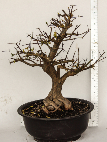 Japanese Twisted Pomegranate Specimen Bonsai Tree House Of Bonsai