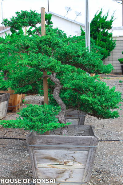 Prostrata Juniper Garden Bonsai Tree 24 Quot Wooden Box