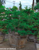 "Prostrata Juniper Garden Bonsai Tree - 24"" Wooden Box"