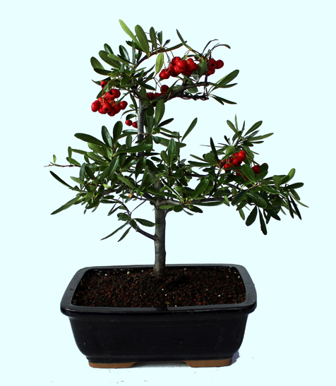 Pyracantha 'Angustifolia' Bonsai Tree