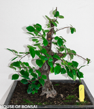 Chinese Quince Specimen Bonsai Tree