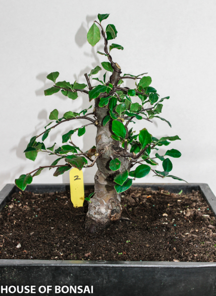 Chinese Quince Specimen Bonsai Tree House Of Bonsai