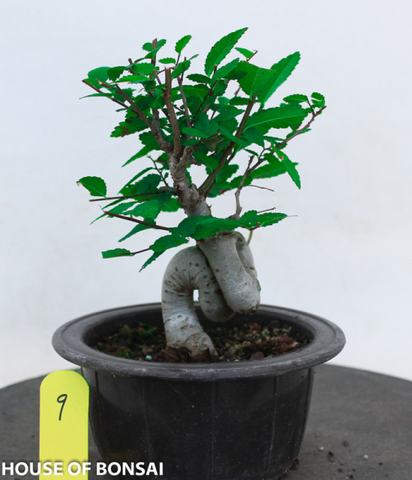 Japanese Zelkova Shohin Bonsai Tree