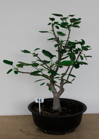 Flowering Crab Apple Bonsai Tree