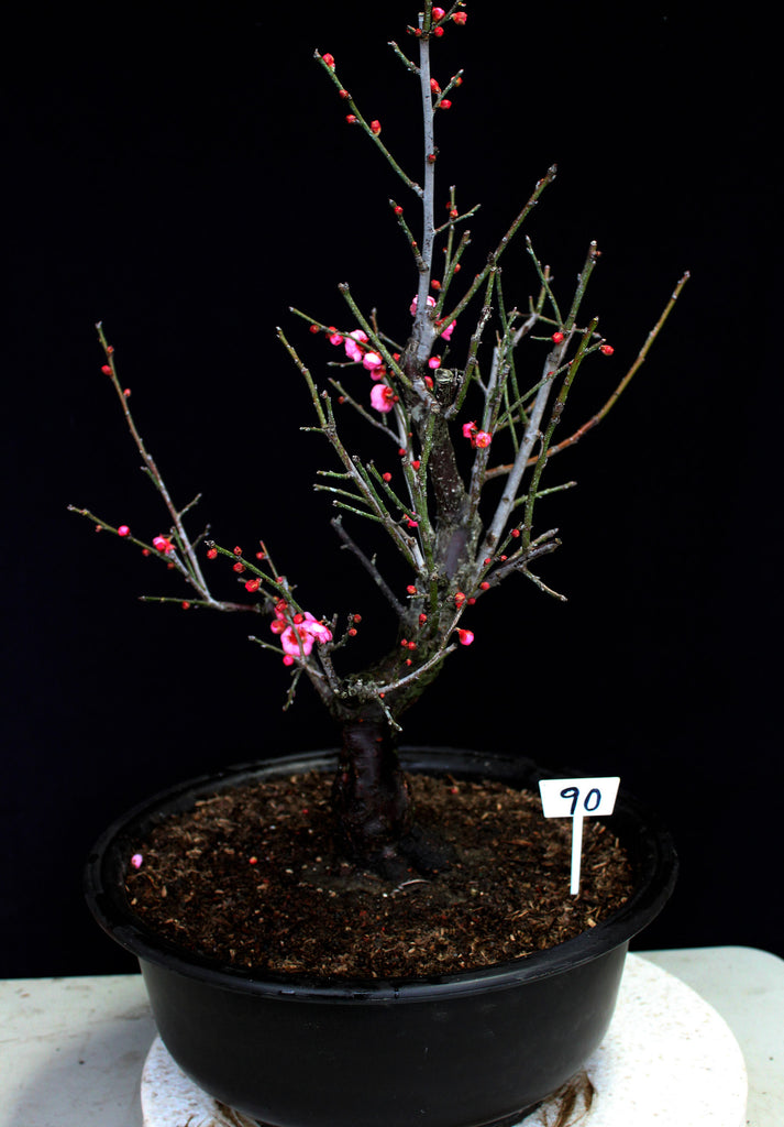 Flowering & Fruiting Apricot Specimen Bonsai Tree