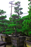 "Japanese Black Pine Garden Bonsai Tree - 24"" Wooden Box"
