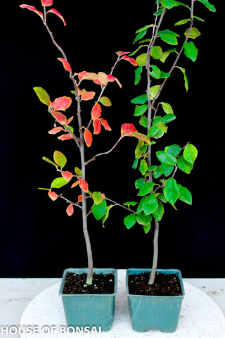 "Chinese Quince Small Pre-Bonsai Tree 4"" pot"
