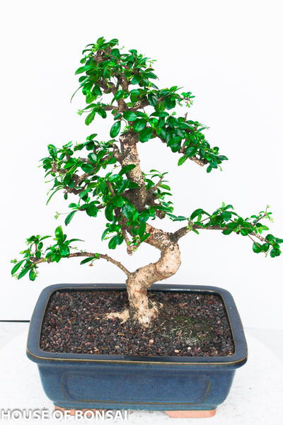 Chinese Fukien Tea Bonsai Tree Large House Of Bonsai