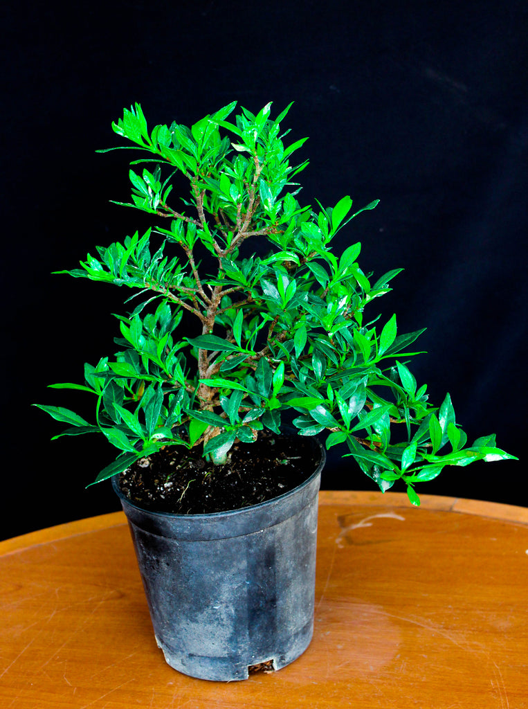 "Dwarf Gardenia 'Radicans' 6"" Pre-Bonsai Tree - White Flowers with Sweet Fragrance"