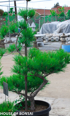Japanese Black Pine Garden Bonsai Tree - 15 Gallon Pot  ( younger than everage year )