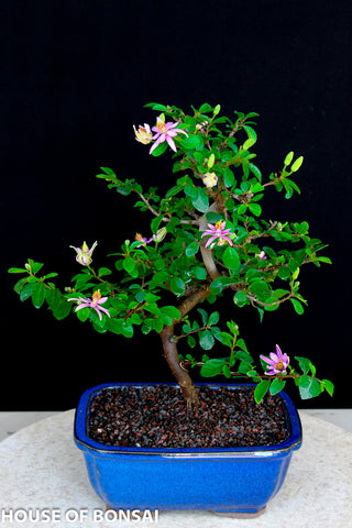 Lavender Star Flower Bonsai Tree in Ceramic Pot
