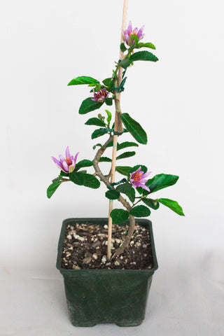 "Lavender Star Flower 4"" Pre-Bonsai Tree - Long Blooming Season"