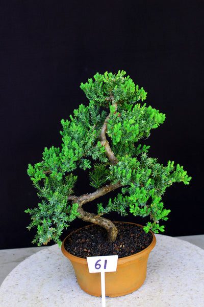 Procumbens Nana Juniper Bonsai Pre Bonsai Tree House Of