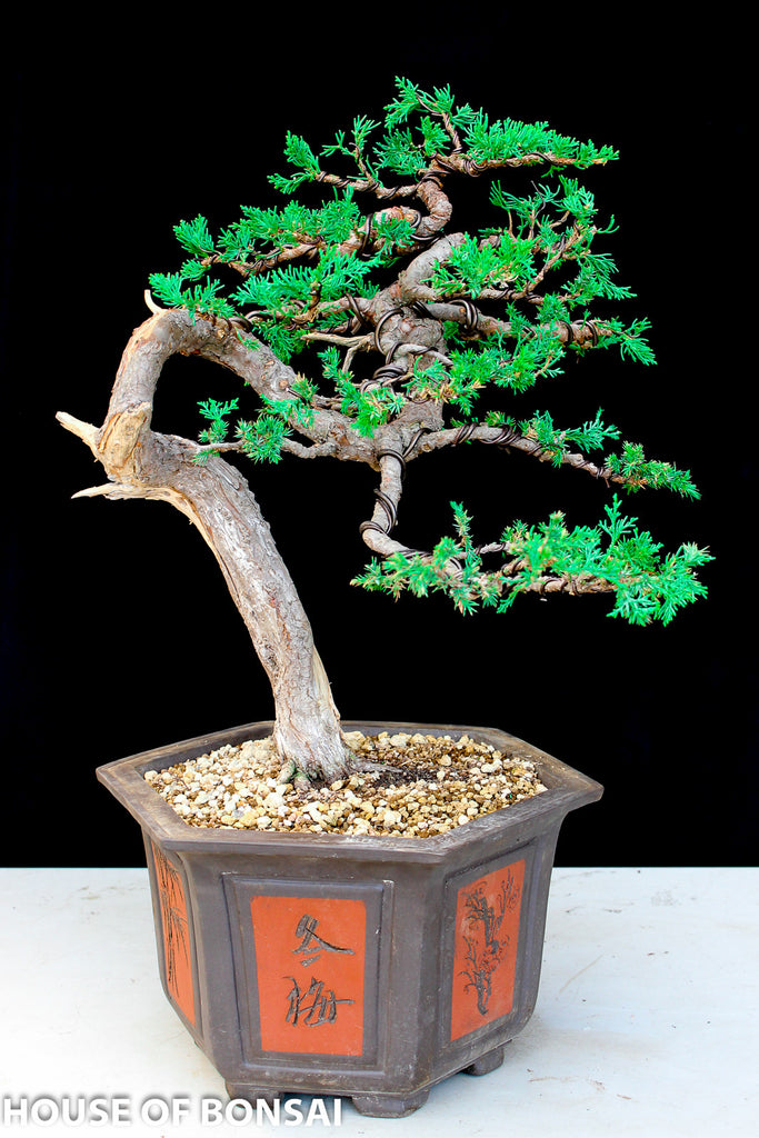 Prostrada Juniper Windswept Style Specimen Bonsai Tree