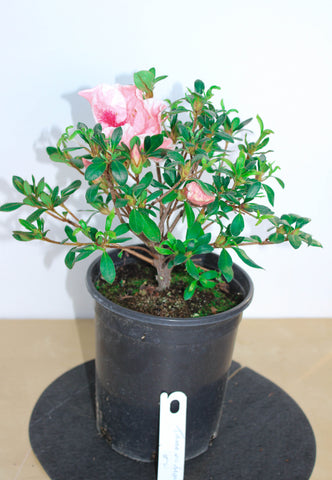 "Japanese Satsuki Azalea 'Tama-No-Hada' 6"" Pre-Bonsai Tree - White with Coral Red Stripes Flowers"