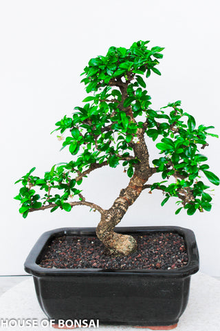 Chinese Fukien Tea Bonsai Tree - Large