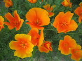 California Poppy Petal Veiner