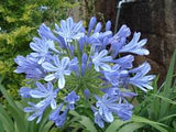 Agapanthus Cutter