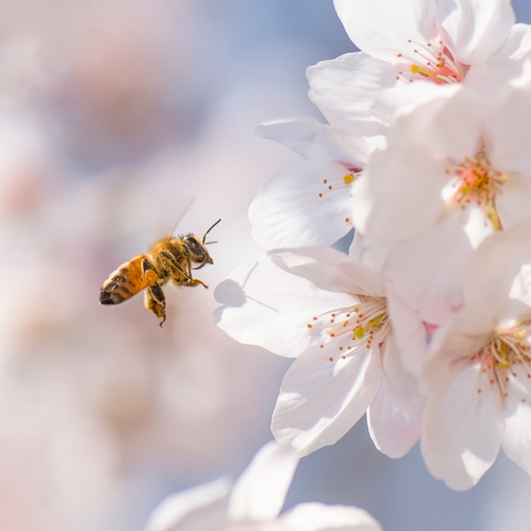 Pollination is helped by bees