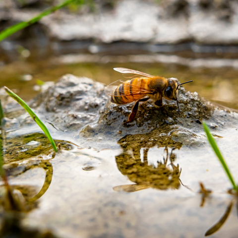 Bee baths help bees survive