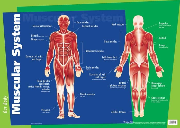Gillian Miles - Human Body Muscular System - Wall Chart