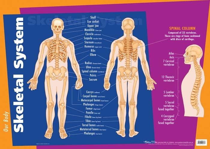 Gillian Miles - Human Body Skeletal System - Wall Chart
