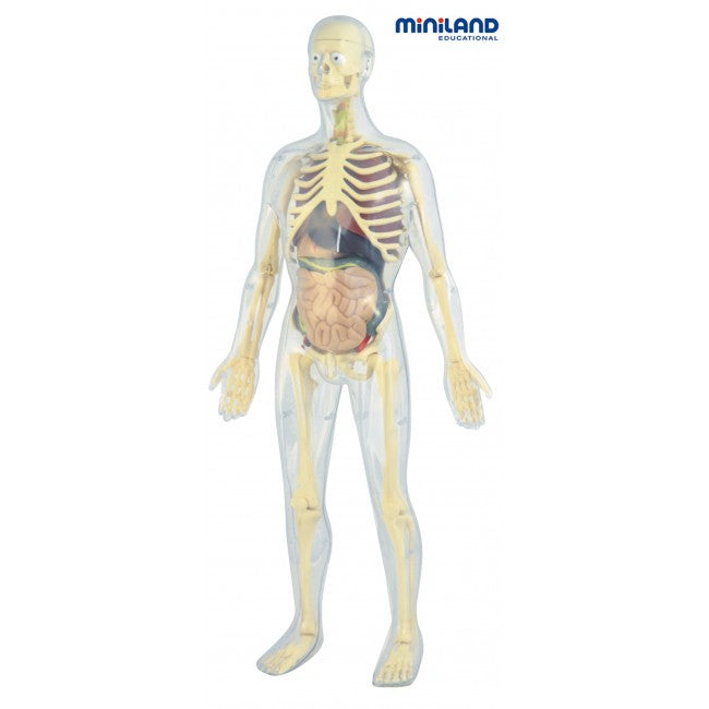 Miniland Educational Science Human Anatomy Skeleton Toys2learn