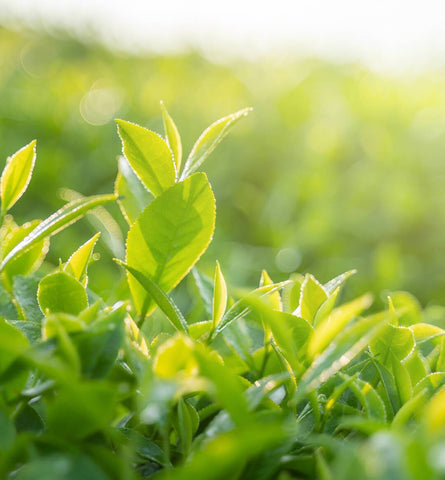 Blog Feed Article Feature Image Carousel: Green Tea Benefits for Summer Skin