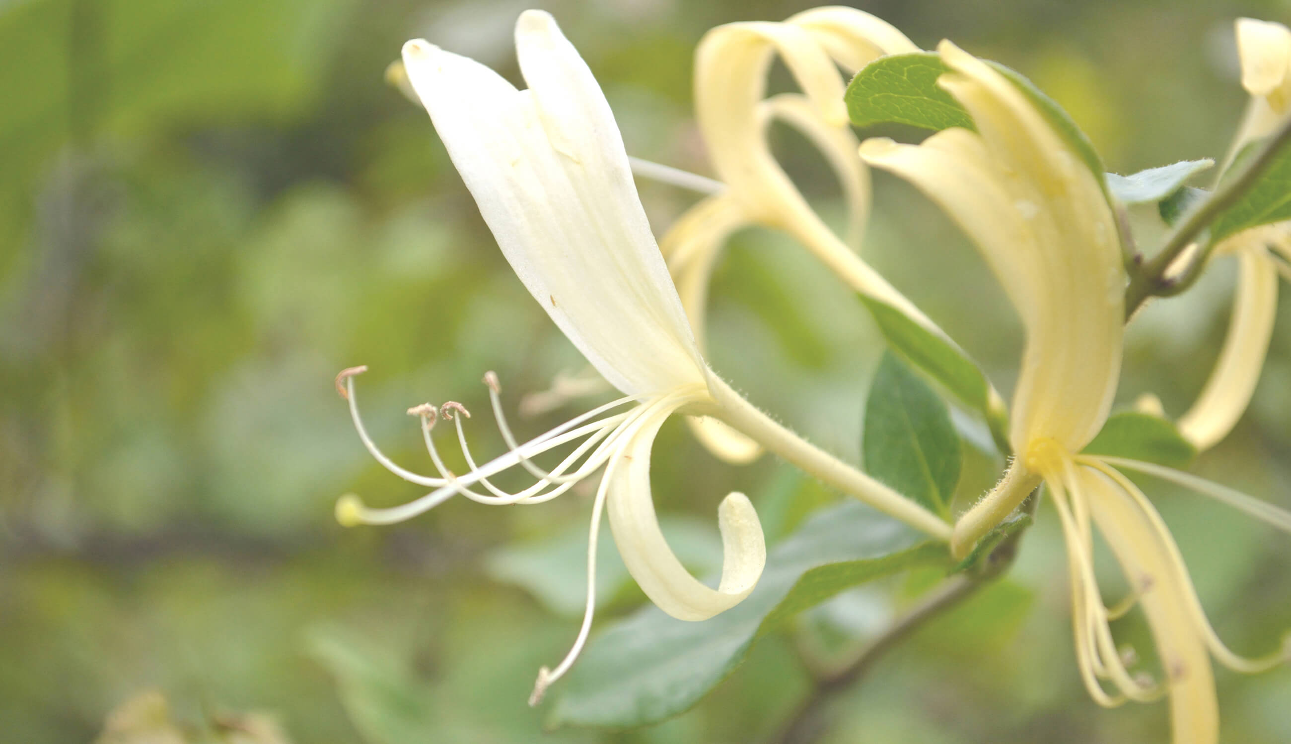 japanese honeysuckle plant