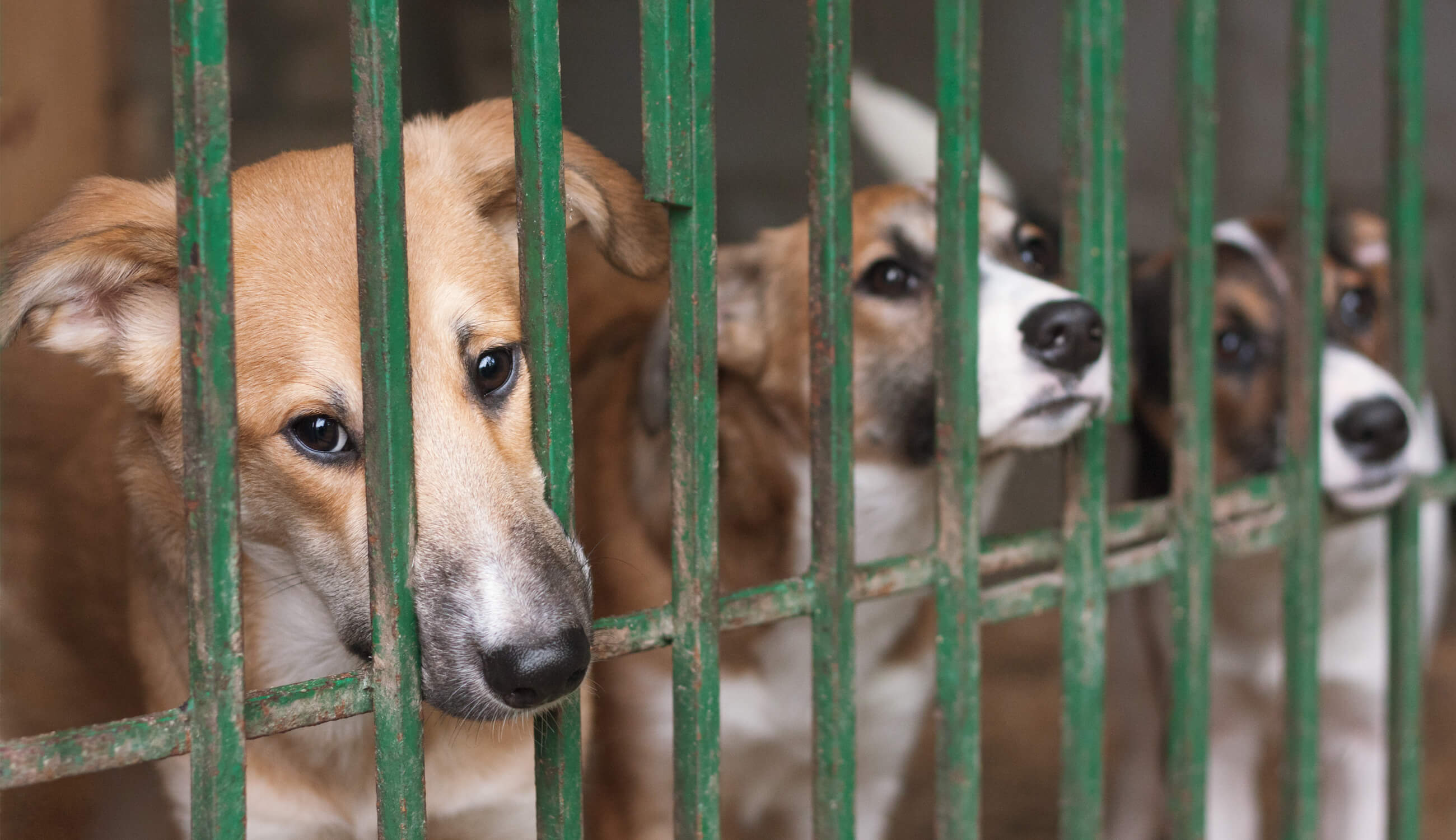 Our Fight Against the Yulin Dog Festival   100% PURE