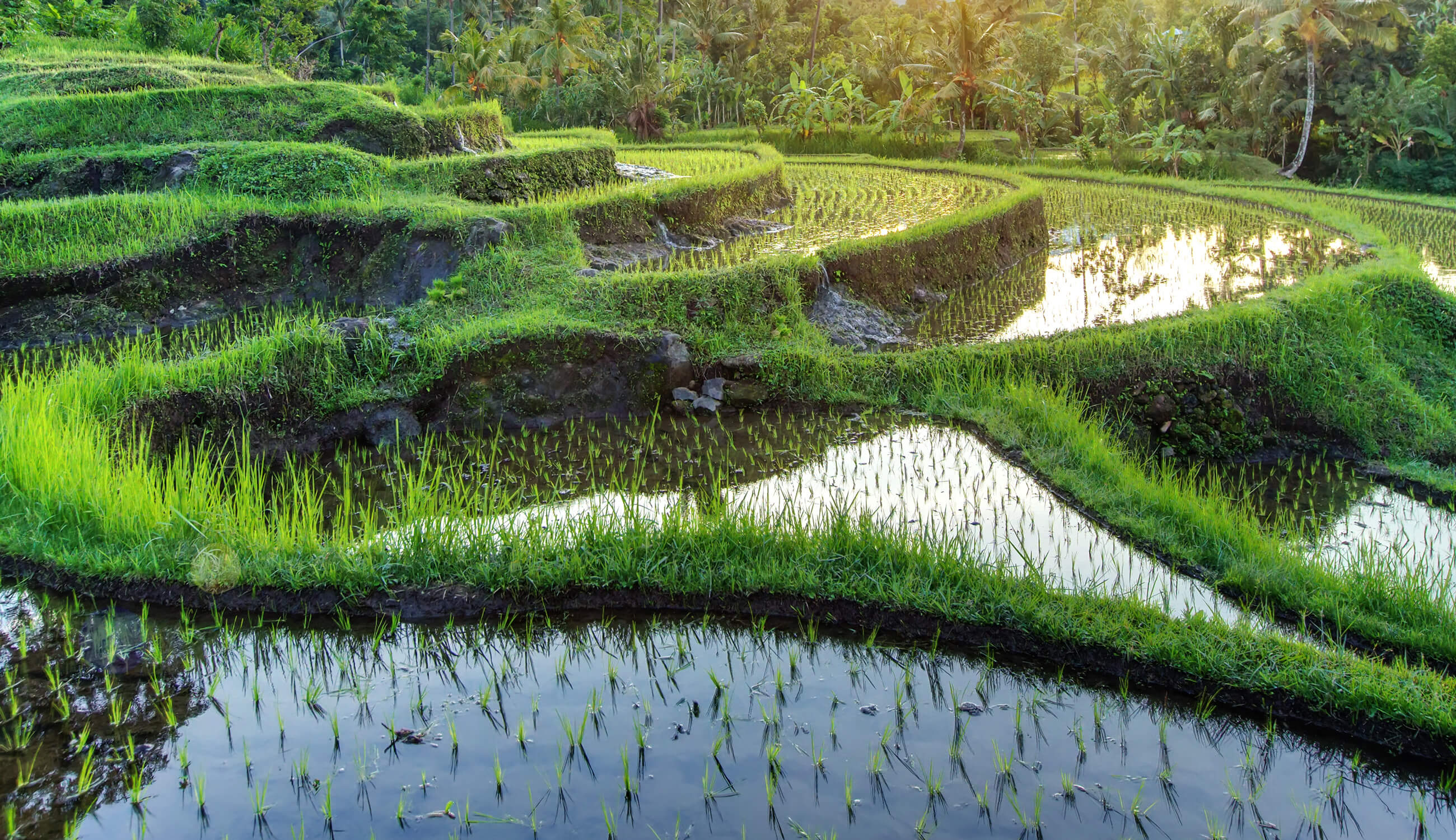 Rice Water Paddy