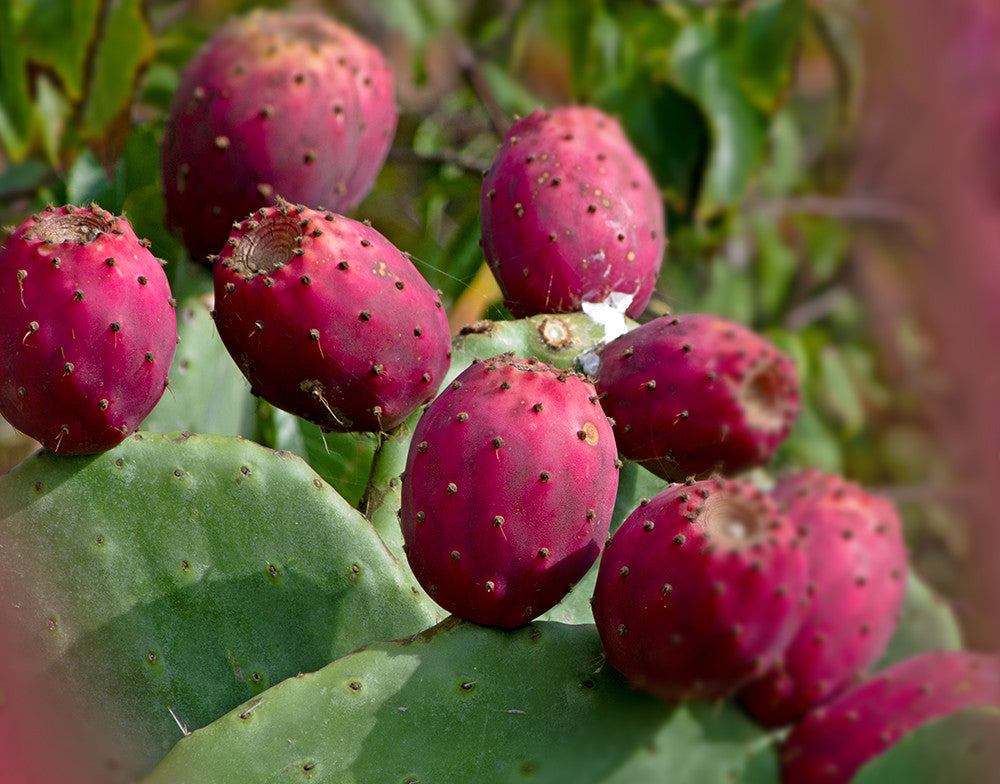 Prickly Pear: How To Eat and How To Wear   100% PURE