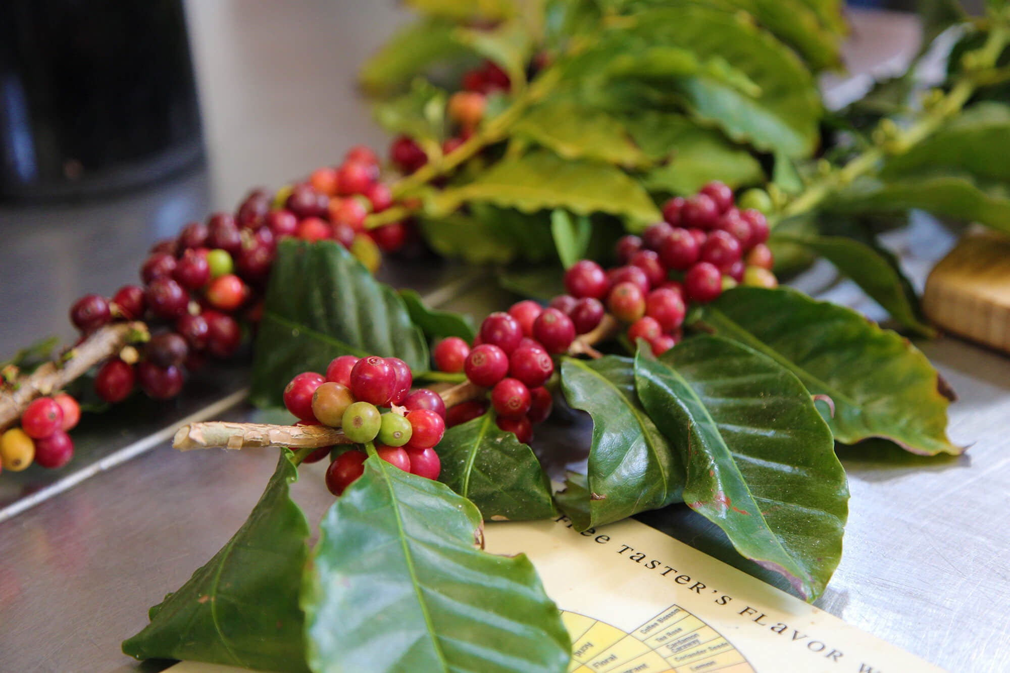 coffee bean plant branch