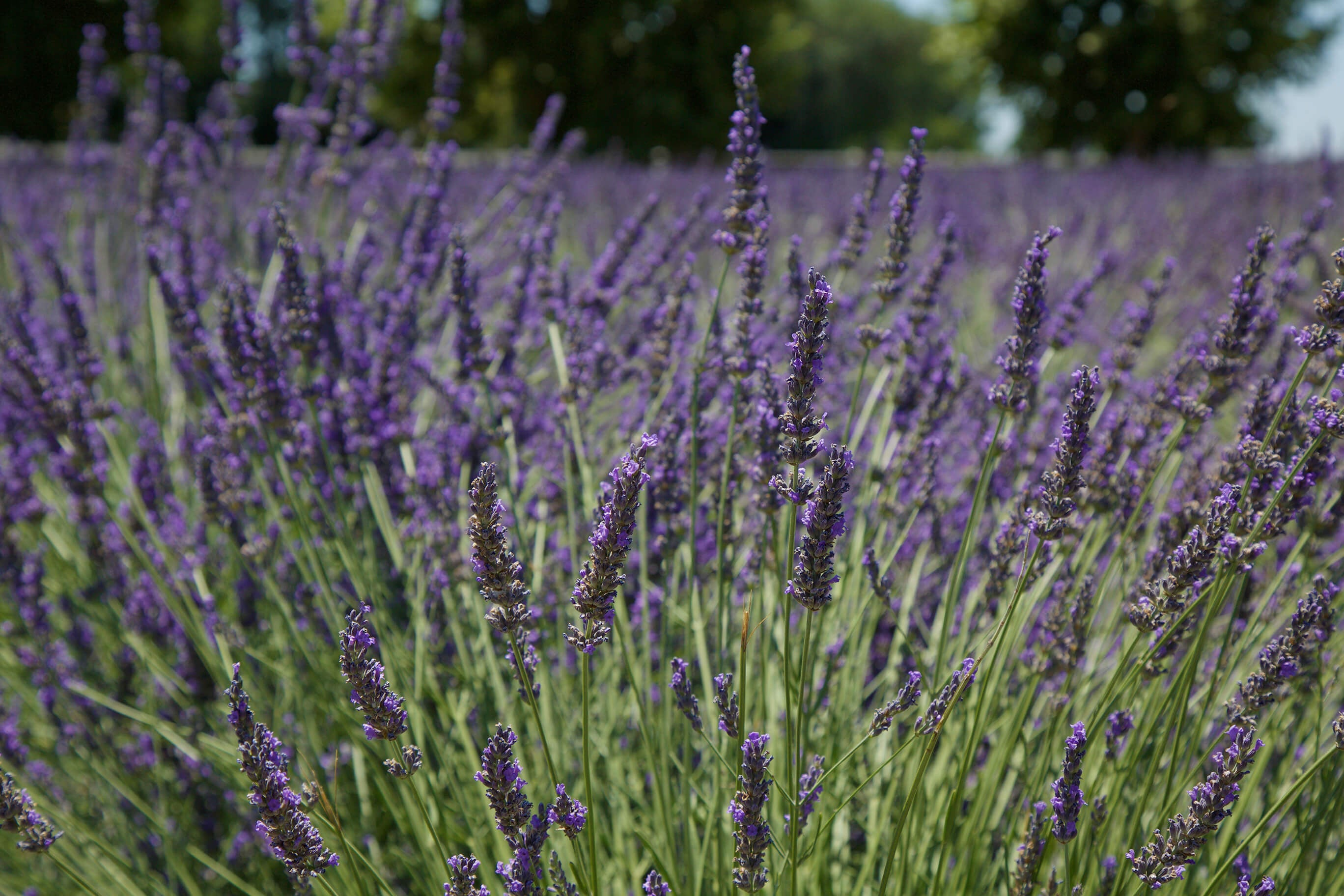 10 Ways To Add Lavender To Your Skin And Hair Care 100 Pure